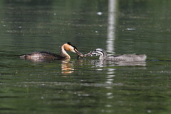 Great Crested Grebes (Dranny2010) Tags: baby fish great leeds chick feed crested grebe harewood
