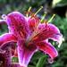 365-232 - Stargazer Lily