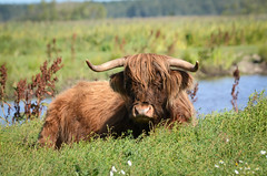 Highland Cattle (mellting) Tags: cow nikon flickr cattle sweden s ko highlandcattle hefer rebro oset sigma70300456 bloggad nikond7000 mygearandme mygearandmepremium mygearandmebronze mygearandmesilver mygearandmegold mellting matsellting