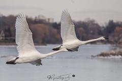 swan-2773