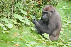 2013-10-05-11h38m00.272P4746 (A.J. Haverkamp) Tags: zoo rotterdam blijdorp gorilla dierentuin diergaardeblijdorp adira westelijkelaaglandgorilla httpwwwdiergaardeblijdorpnl canonef100400mmf4556lisusmlens pobrotterdamthenetherlands dob12102006