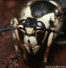 Bald-faced Hornet (Nick Scobel) Tags: nest michigan bald faced hornet maculata baldfaced dolichovespula