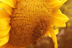 Seasons and Swaps (obsequies) Tags: autumn canada fall nature yellow happy whimsy october bokeh harvest september manitoba sunflower whimsical