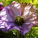 Fotosödag tema rosa: Blomma som kämpar