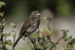 Fox Sparrow (Bob Gunderson) Tags: sanfrancisco california birds northerncalifornia fortmason sparrows foxsparrow passerellailiaca avianexcellence