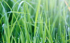 Grass with morning dew (Macbrian Mun) Tags: morning summer sunlight plant color macro reflection green nature wet water beautiful grass rain closeup garden outdoors leaf spring stem shiny natural bright bokeh background small lawn meadow drop fresh clean growth dew droplet environment condensation blade transparent lush ornamental liquid herb climate raindrop freshness purity