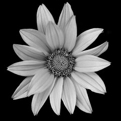 Who wants flowers when youre dead? Nobody. (Peter Ras) Tags: bw flower macro floral monochrome closeup canon mono blackwhite close creativecommons f28 canonef50mmf14usm canonshooter canoneos650d peterras peterkirkeskovrasmussen peterkrasmussen