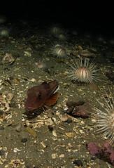 knurr (eikebass) Tags: ocean cold norway norge nikon underwater scuba diving diver dykking underwaterphotography seahare dykker undervannsfoto undervann d7100