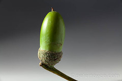 studio green acorn in cup on stalk white background (Peter Noyce) Tags: trees stilllife tree green closeup studio oak growth negativespace cups acorn copyspace deciduous oaks stalk stalks bracts bract cupule involucre tabletopphotography acorncup