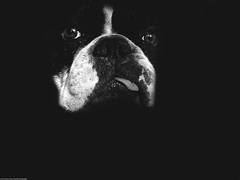 Mr. Bulldog (The memory of tree) Tags: portrait blackandwhite white black blancoynegro blanco composition negro perro frenchbulldog animales bulldogfrances marcosanmartin