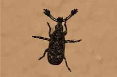 Anthribidae sp. (Beetle) (Nick Dean1) Tags: insect southafrica arthropoda krugernationalpark arthropod coleoptera insecta pretoriuskop anthribidae