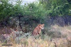 DSC_2282 (Arno Meintjes Wildlife) Tags: africa wallpaper nature southafrica wildlife lion safari bigcat predator krugerpark big5 pantheraleo arnomeintjes