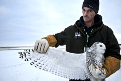 Snowy Owl Gerald R. Ford International Airport (Andrew Kuhn) Tags: city usa snow cold bird ford animal mi airplane flying airport snowy michigan wildlife united flight grand rapids international gerald raptor r owl service grandrapids states agriculture tagging runway department trap ln
