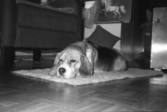 Om35ecr_330scan_img_257 (Jari Savijrvi) Tags: beagle dogs luppa olympus35ecr rolleiprx400 {vision}:{outdoor}=0733