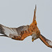 Red Kite, Watlington, reworked.