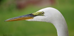 Great Egret (Gary Helm) Tags: greatwhiteegret florida centralflorida canon lakewales lakepierce backyard dock wildlife water nature outside bird birds polkcounty fish marsh unitedstates usa us northamerica sx50 sx50hs animals aquatic animal outdoor ghelm4747 garyhelm