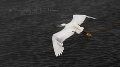 Egret (Photography by Julia Martin) Tags: 1000views whitebird littleegret flyingegret canon5dmarkiii photographybyjuliamartin