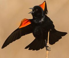 Red-winged Blackbird (Agelaius phoeniceus) (fugle) Tags: nevada blackbird redwingedblackbird icterid