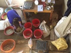 Morning feed preparations on ILRI-led pig feed trial at Kamuzinda farm, Masaka district, Uganda (International Livestock Research Institute) Tags: africa research pigs uganda feeds eastafrica ilri animalfeeding assp crp37 crp4