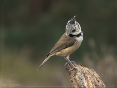 Did I drop something (manonvanderburg) Tags: bird nature spring birding crestedtit vogelen kuifmees birdcabin