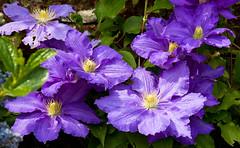 Clematis in the walled garden at Marks Hall, Essex (Miche & Jon Rousell) Tags: flower garden purple clematis arboretum essex markshall