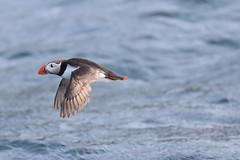 Bleiksoy_021 (petziproductions) Tags: wildlife norwegen puffin vogel 2015 papageientaucher