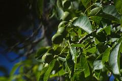 English Walnut - Juglans regia - immature fruit (jbinpg) Tags: canada bc tsawwassen immaturefruit juglansregia englishwalnut