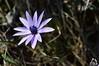 Fiore di primavera della Majella - Abruzzo - Italy