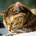 photohunting the elusive sun cat