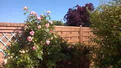 20150608b Mon rosier Pierre de Ronsard (@bodil) Tags: pink flowers france rose fleurs normandie pierrederonsard