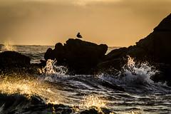 Sin prisa (Luis Vargas Atton) Tags: ocean chile beach contraluz atardecer playa olas gaviota pacifico oceano nikond3100