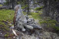 Stumped (brentus69) Tags: trees canada nature forest kananaskis outdoors moss nikon alberta fungus stump d4 nikond4
