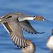 Pintail (PETEJLB) Tags: pintail duck waterbirds waterfowl wildfowl birds bird wwtslimbridge gloucestershire uk