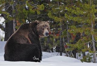 THINK SPRING - Grizzly Bears Awaken - 4812b+