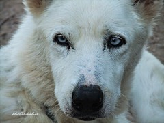 Mirada Azul . 064 (adioslunitaadios) Tags: perro mascota blava armonia dulzura mamífero ojos masía 2017 campo macro fujifilm serenidad huskysiberiano