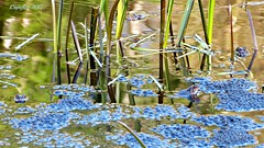 Look closer, how many frogs do you see? - Zoekplaatje, tel de kikkers. (Cajaflez) Tags: spawn kikkerdril kikkers frogs water voorjaar spring fruhling printemps laich frosch schilf reed roseau grenouilles leemkuil rhenen