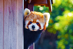 Kinta, Femal Red Panda of Nogeyama Zoo : レッサーパンダのキンタ(野毛山動物園) (Dakiny) Tags: 2017 winter february japan kanagawa yokohama nishiward nogeyama outdoor park nogeyamapark zoo nogeyamazoo creature animal mammal panda redpanda kinta nikon d7000 sigma apo 70200mm f28 ex hsm apo70200mmf28dexhsm sigmaapo70200mmf28dexhsm nikonclubit