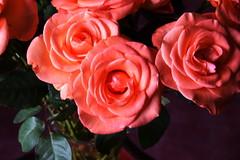 DSC_4710 Roses (PeaTJay) Tags: nikond750 reading lowerearley berkshire macro micro closeups gardens indoors nature flora fauna plants flowers bouquet rose roses rosebuds