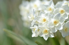 signs of spring (snowshoe hare*) Tags: dsc1029 narcissus paperwhite botanicalgarden paperwhitenarcissus スイセン ペーパーホワイト 海の中道海浜公園