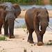 African Elephants (Loxodonta africana) bull in Sabie riverbed ...
