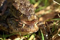 Toads (Sybalan,) Tags: ardyne trees tranquility toward forest insects outdoor birds blueskies scotland sunny spring coastal cowal toad bullfinches seashore seals rocks sea