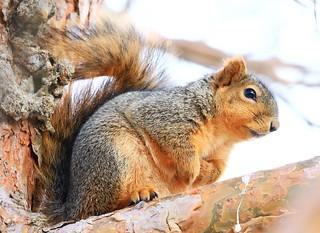 fox squirrel at Lake Meyer Park IA 854A3041