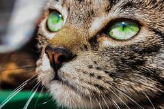 (frogghyyy) Tags: macro macrophotography macros macroscene nature animal animale cat animaledomestico gatto kitty green dettagli details eyes sun reflection beautiful beautifulmacro bokeh