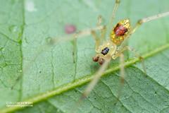 Mirror comb-footed spider (Thwaitesia sp.) - DSC_2504 (nickybay) Tags: admiraltypark macro singapore thwaitesia mirror spider combfooted theridiidae