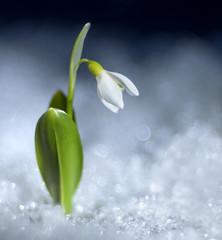 Snowdrop Sedulity (Don Komarechka) Tags: flower snow snowdrop winter ice blooming macro trioplan bokeh