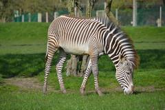 Grevy's Zebra (Equus Grevyi) (Seventh Heaven Photography) Tags: grevys zebra equus grevyi equusgrevyi animal nikond3200 stripes striped mane equid julesgrevy equine