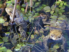 Toads (cheritage101) Tags: toad frog amphibian swimming spawn pond water reedbed woodwalton fen nnr
