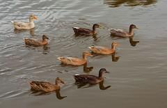 Animals. (ost_jean) Tags: animals eenden ducks nikon d5200 tamron sp af 1750mm f28 xr di ii vc ld ostjean