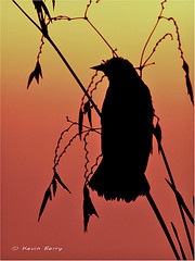 Red-winged Blackbird at sunrise (Kevin B Photo) Tags: park morning light red orange plants usa sun sunlight plant bird nature wet water beautiful beauty grass birds vertical closeup america sunrise outside outdoors photography one wings day exterior unitedstates graphic artistic florida native south small wing scenic dramatic peaceful calm southern wetlands perch vegetation manmade boardwalk daytime grasses perched fl marsh southeast winged avian wetland serenitynow kevinbarry greencaywetlands wowiekazowie