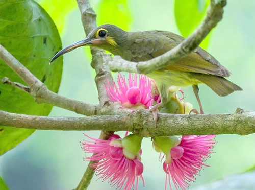 Yellow-eared Spiderhunter - c